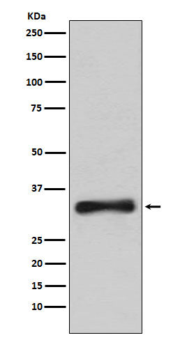 Figure 1. Western blot analysis of EMD using anti-EMD antibody (M00714-1).<br>Electrophoresis was performed on a 5-20% SDS-PAGE gel at 70V (Stacking gel) / 90V (Resolving gel) for 2-3 hours. The sample well of each lane was loaded with 50ug of sample under reducing conditions. <br>After Electrophoresis, proteins were transferred to a Nitrocellulose membrane at 150mA for 50-90 minutes. Blocked the membrane with 5% Non-fat Milk/ TBS for 1.5 hour at RT. The membrane was incubated with rabbit anti-EMD antigen affinity purified polyclonal antibody (Catalog # M00714-1) at 0.5 ug/mL overnight at 4°C, then washed with TBS-0.1%Tween 3 times with 5 minutes each and probed with a goat anti-Rabbit IgG IgG-HRP secondary antibody at a dilution of 1:10000 for 1.5 hour at RT. The signal is developed using an Enhanced Chemiluminescent detection (ECL) kit (Catalog # SA1022) with Tanon 5200 system. A specific band was detected for EMD.