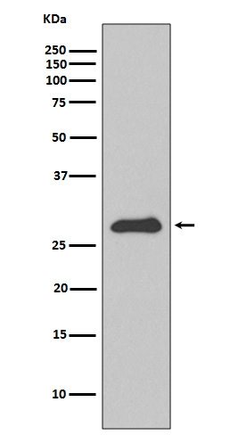 Western blot analysis of Apolipoprotein A1 expression in HepG2 cell lysate (M00717). <br>Electrophoresis was performed on a 5-20% SDS-PAGE gel at 70V (Stacking gel) / 90V (Resolving gel) for 2-3 hours. The sample well of each lane was loaded with 50ug of sample under reducing conditions. <br> After Electrophoresis, proteins were transferred to a Nitrocellulose membrane at 150mA for 50-90 minutes. Blocked the membrane with 5% Non-fat Milk/ TBS for 1.5 hour at RT. The membrane was incubated with rabbit anti-APOA1 monoclonal antibody (Catalog # M00717)  overnight at 4°C, then washed with TBS-0.1%Tween 3 times with 5 minutes each and probed with a goat anti-rabbit IgG-HRP secondary antibody at a dilution of 1:10000 for 1.5 hour at RT. The signal is developed using an Enhanced Chemiluminescent detection (ECL) kit (Catalog # EK1002) with Tanon 5200 system. A specific band was detected for APOA1