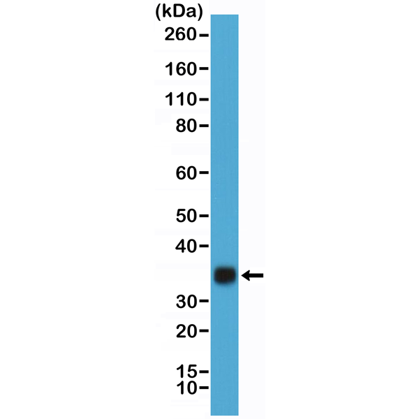 Figure 1. Western Blotting result<br>Western Blot of hCG protein purified from human urine using anti-hCG rabbit monoclonal antibody (Clone RM330) at a 1:20,000 dilution.