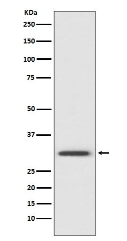 Anti-Annexin V Rabbit Monoclonal Antibody