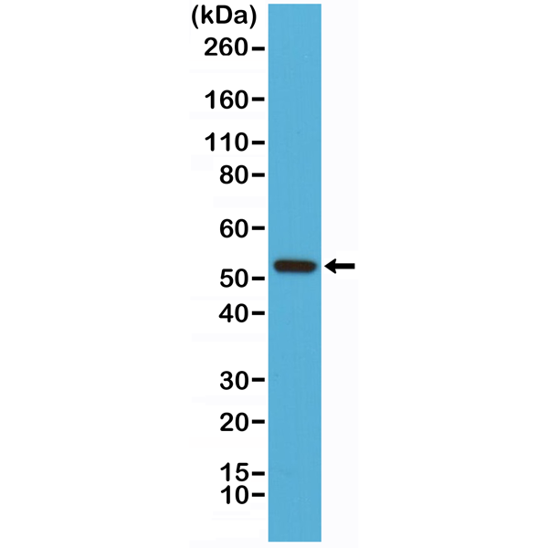 Figure 1. Western Blotting result<br>Western Blot of Jurkat cell lysates using Anti-Cyclin B1 Rabbit Monoclonal Antibody (clone RM281) at a 1:1000 dilution.