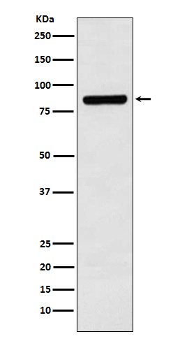 Figure 1. Western blot analysis of CUL3 using anti-CUL3 antibody (M00747).<br>Electrophoresis was performed on a 5-20% SDS-PAGE gel at 70V (Stacking gel) / 90V (Resolving gel) for 2-3 hours. The sample well of each lane was loaded with 50ug of sample under reducing conditions. <br>After Electrophoresis, proteins were transferred to a Nitrocellulose membrane at 150mA for 50-90 minutes. Blocked the membrane with 5% Non-fat Milk/ TBS for 1.5 hour at RT. The membrane was incubated with rabbit anti-CUL3 antigen affinity purified polyclonal antibody (Catalog # M00747) at 0.5 ug/mL overnight at 4°C, then washed with TBS-0.1%Tween 3 times with 5 minutes each and probed with a goat anti-Rabbit IgG IgG-HRP secondary antibody at a dilution of 1:10000 for 1.5 hour at RT. The signal is developed using an Enhanced Chemiluminescent detection (ECL) kit (Catalog # SA1022) with Tanon 5200 system. A specific band was detected for CUL3.