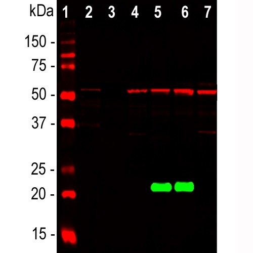 Western blot analysis of whole brain and cell lysates using mouse mAb against DJ-1/PARK7, M00757-1, dilution 1:5,000 in green. [1] protein standard, [2] rat brain, [3] mouse brain, [4] NIH-3T3, [5] HeLa, [6] HEK293, and [7] C6 cells. The other antibody detects protein with apparent molecular weight of 21kDa but only in human cell lines, since it does not recognize the rat or mouse DJ-1 protein. The blot was simultaneously probed with chicken pAb to vimentin, dilution 1;5,000 in red, revealing a single band at about 50kDa present in all lanes, though at much lower levels in the tissue lysates.