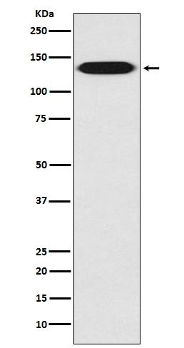 /M/0/M00772-1-ITGB1-primary-antibodies-WB-testing-1.jpg