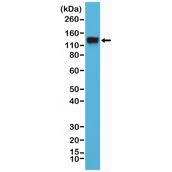 Figure 1. Western Blotting result<br>Western Blot of HeLa cell lysates using anti-CD29 rabbit monoclonal antibody (clone RM285) at a 1:4000 dilution.