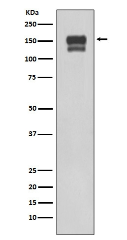 Western blot analysis of using Integrin beta1 expression in 293T cell lysate (M00772).