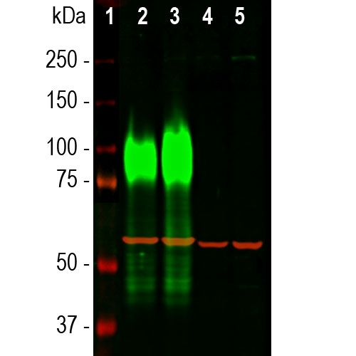 Western blot analysis of different cell lysates using mouse mAb to LAMP1, M00780-2 dilution 1:10,000 in green. Cells were maintained under normal conditions (Ct), or treated with 50
