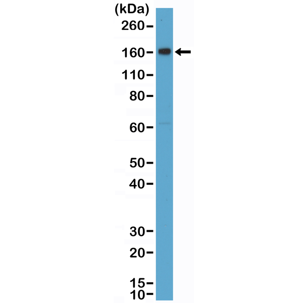 Figure 1. Western Blotting result<br>Western Blot of human placenta tissue lysate using anti-CD163 rabbit monoclonal antibody (Clone RM371) at a 1:2000 dilution.