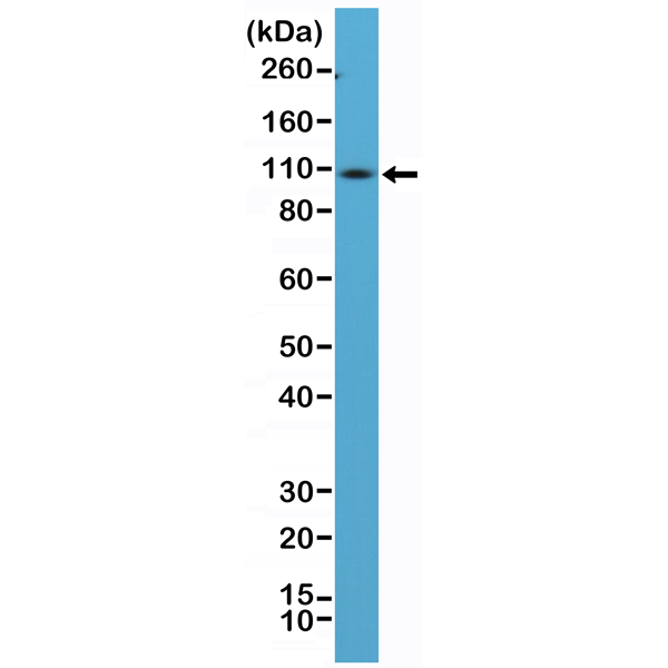Figure 1. Western Blotting result<br>Western Blot of mouse spleen tissue lysate using anti-CD34 rabbit monoclonal antibody (Clone RM300) at a 1:100 dilution.