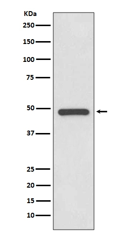 Western blot analysis of PAX8 expression in SK-OV-3 cell lysate (M00943-2). <br>Electrophoresis was performed on a 5-20% SDS-PAGE gel at 70V (Stacking gel) / 90V (Resolving gel) for 2-3 hours. The sample well of each lane was loaded with 50ug of sample under reducing conditions. <br> After Electrophoresis, proteins were transferred to a Nitrocellulose membrane at 150mA for 50-90 minutes. Blocked the membrane with 5% Non-fat Milk/ TBS for 1.5 hour at RT. The membrane was incubated with rabbit anti-PAX8 monoclonal antibody (Catalog # M00943-2)  overnight at 4℃, then washed with TBS-0.1%Tween 3 times with 5 minutes each and probed with a goat anti-rabbit IgG-HRP secondary antibody at a dilution of 1:10000 for 1.5 hour at RT. The signal is developed using an Enhanced Chemiluminescent detection (ECL) kit (Catalog # EK1002) with Tanon 5200 system. A specific band was detected for PAX8