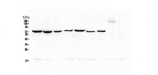 Figure 2. Western blot analysis of Hsp70 using anti-Hsp70 antibody (M00949-2).  <br>Electrophoresis was performed on a 5-20% SDS-PAGE gel at 70V (Stacking gel) / 90V (Resolving gel) for 2-3 hours. The sample well of each lane was loaded with 50ug of sample under reducing conditions.  <br>Lane 1: human Hela whole cell lysate,<br>Lane 2: human COLO-320 whole cell lysate,<br>Lane 3: human SW620 whole cell lysate,<br>Lane 4: human A431 whole cell lysate,<br>Lane 5: human A549 whole cell lysate,<br>Lane 6: human HepG2 whole cell lysate,<br>Lane 7: human PANC-1 whole cell lysate.  <br>After Electrophoresis, proteins were transferred to a Nitrocellulose membrane at 150mA for 50-90 minutes. Blocked the membrane with 5% Non-fat Milk/ TBS for 1.5 hour at RT. The membrane was incubated with mouse anti-Hsp70 antigen affinity purified monoclonal antibody (Catalog # M00949-2) at 0.5 μg/mL overnight at 4°C, then washed with TBS-0.1%Tween 3 times with 5 minutes each and probed with a goat anti-mouse IgG-HRP secondary antibody at a dilution of 1:10000 for 1.5 hour at RT. The signal is developed using an Enhanced Chemiluminescent detection (ECL) kit (Catalog # EK1001) with Tanon 5200 system.