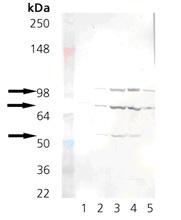 Figure 3. Western blot analysis of Hspa5 using anti-Hspa5 antibody (M00955-2).