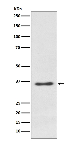 Anti-Syndecan 1 Rabbit Monoclonal Antibody