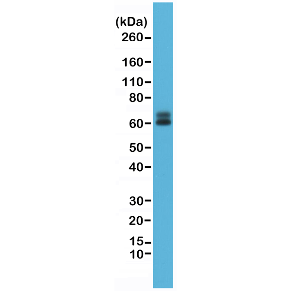 Figure 1. Western Blotting result<br>Western Blot of HeLa cell lysate, using anti-Paxillin rabbit monoclonal Antibody Clone RM256 at a 1:1000 dilution.