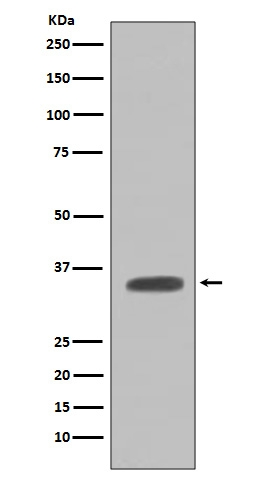Anti-Caspase-7 Rabbit Monoclonal Antibody