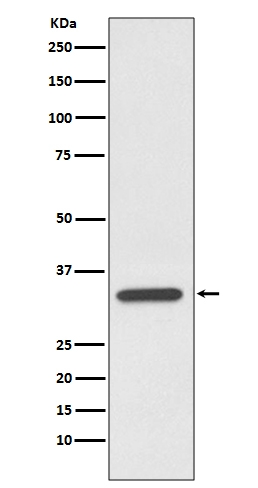 Anti-pro Caspase 7 Rabbit Monoclonal Antibody