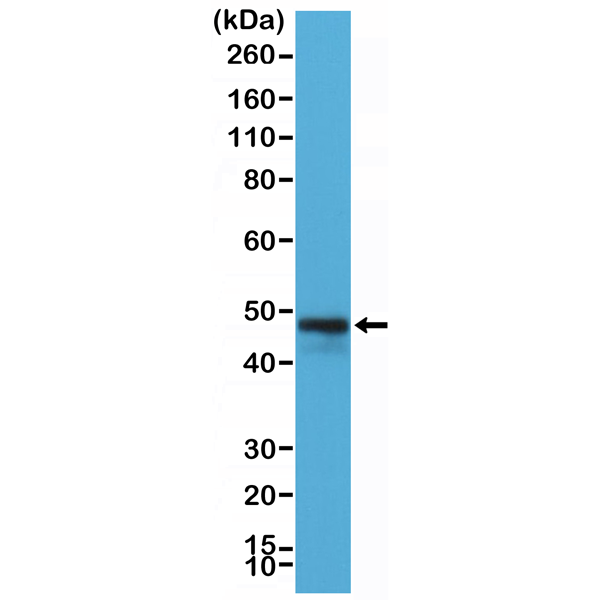 Figure 1. Western Blotting result<br>Western Blot of Raji cells lysate using anti-CD79a rabbit monoclonal antibody (Clone RM297) at a 1:200 dilution.