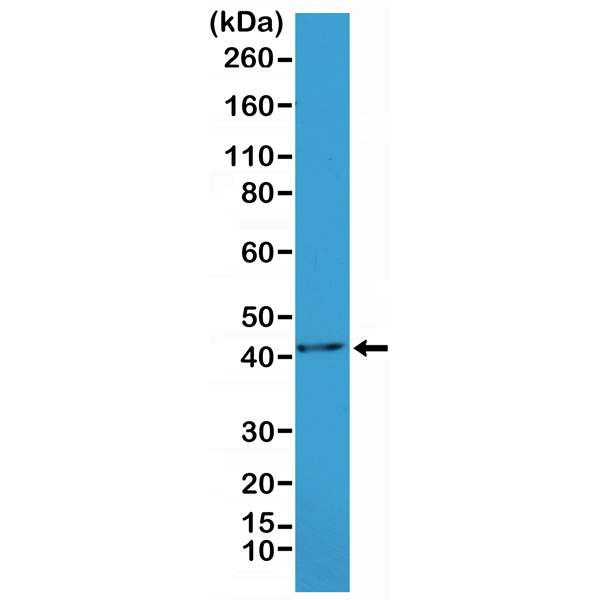 Figure 1. Western Blotting result<br>Western Blot of mouse heart tissue lysate, using Anti-alpha smooth muscle Actin RM253 at a 1:1000 dilution.