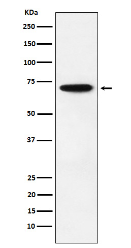 Figure 1. Western blot analysis of NRF1 using anti-NRF1 antibody (M01129).<br>Electrophoresis was performed on a 5-20% SDS-PAGE gel at 70V (Stacking gel) / 90V (Resolving gel) for 2-3 hours. The sample well of each lane was loaded with 50ug of sample under reducing conditions. <br>After Electrophoresis, proteins were transferred to a Nitrocellulose membrane at 150mA for 50-90 minutes. Blocked the membrane with 5% Non-fat Milk/ TBS for 1.5 hour at RT. The membrane was incubated with rabbit anti-NRF1 antigen affinity purified polyclonal antibody (Catalog # M01129) at 0.5 ug/mL overnight at 4°C, then washed with TBS-0.1%Tween 3 times with 5 minutes each and probed with a goat anti-Rabbit IgG IgG-HRP secondary antibody at a dilution of 1:10000 for 1.5 hour at RT. The signal is developed using an Enhanced Chemiluminescent detection (ECL) kit (Catalog # SA1022) with Tanon 5200 system. A specific band was detected for NRF1.