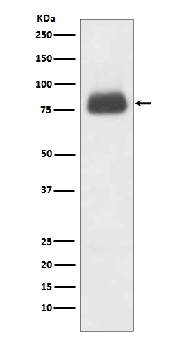 Western blot analysis of CD36 expression in 3T3 cell lysate (M01189). <br>Electrophoresis was performed on a 5-20% SDS-PAGE gel at 70V (Stacking gel) / 90V (Resolving gel) for 2-3 hours. The sample well of each lane was loaded with 50ug of sample under reducing conditions. <br> After Electrophoresis, proteins were transferred to a Nitrocellulose membrane at 150mA for 50-90 minutes. Blocked the membrane with 5% Non-fat Milk/ TBS for 1.5 hour at RT. The membrane was incubated with rabbit anti-CD36 monoclonal antibody (Catalog # M01189)  overnight at 4°C, then washed with TBS-0.1%Tween 3 times with 5 minutes each and probed with a goat anti-rabbit IgG-HRP secondary antibody at a dilution of 1:10000 for 1.5 hour at RT. The signal is developed using an Enhanced Chemiluminescent detection (ECL) kit (Catalog # EK1002) with Tanon 5200 system. A specific band was detected for CD36