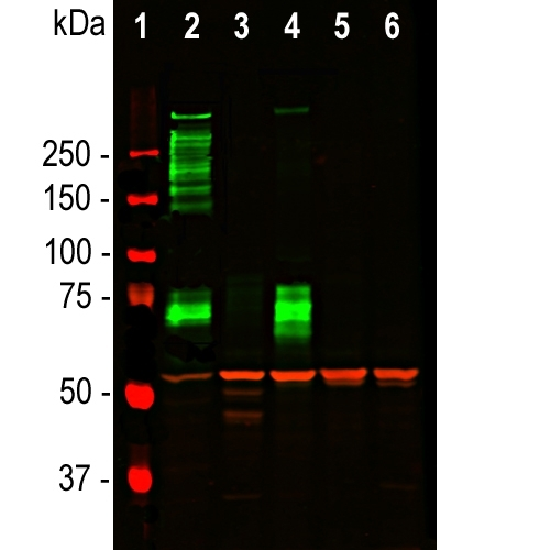 Western blot analysis of tissue and cell lysates using chicken pAb to Vimentin, M00235-5, dilution 1:5,000 in red. [1] protein standard (red), [2] rat whole brain lysate, [3] HeLa, [4] SH-SY5Y, [5] HEK293, and [6] NIH-3T3 cell lysates. M00235-5 binds to the vimentin protein showing a single band at ~50 kDa. The blot was simultaneously probed with mouse mAb to MAP2C/D, dilution 1:5,000 in green, revealing multiple bands around 280kDa that correspond to full length MAP2A/2B isotypes, and ~70kDa bands which are MAP2C/D isotypes. MAP2 isotypes are seen only in extracts containing neuronal lineage cells.