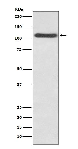 Anti-CD62P Rabbit Monoclonal Antibody