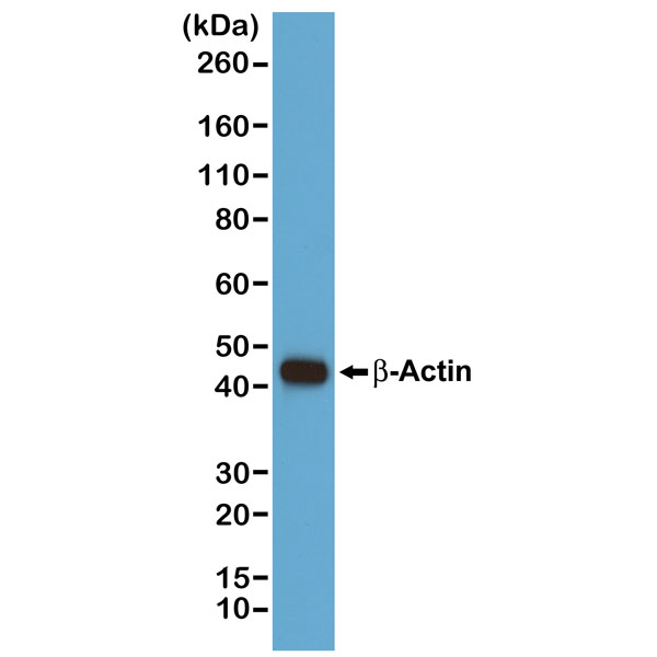 Figure 1. Western Blotting result<br>Western blot of A431 cells, using RevMAb Clone RM112 at 1/1000 dilution. A ?-Actin band showed at the predicted MW (42 kDa).