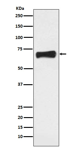Western blot analysis of NR5A2 expression in MCF7 cell lysate (M01332). <br>Electrophoresis was performed on a 5-20% SDS-PAGE gel at 70V (Stacking gel) / 90V (Resolving gel) for 2-3 hours. The sample well of each lane was loaded with 50ug of sample under reducing conditions. <br> After Electrophoresis, proteins were transferred to a Nitrocellulose membrane at 150mA for 50-90 minutes. Blocked the membrane with 5% Non-fat Milk/ TBS for 1.5 hour at RT. The membrane was incubated with rabbit anti-NR5A2 monoclonal antibody (Catalog # M01332)  overnight at 4°C, then washed with TBS-0.1%Tween 3 times with 5 minutes each and probed with a goat anti-rabbit IgG-HRP secondary antibody at a dilution of 1:10000 for 1.5 hour at RT. The signal is developed using an Enhanced Chemiluminescent detection (ECL) kit (Catalog # EK1002) with Tanon 5200 system. A specific band was detected for NR5A2