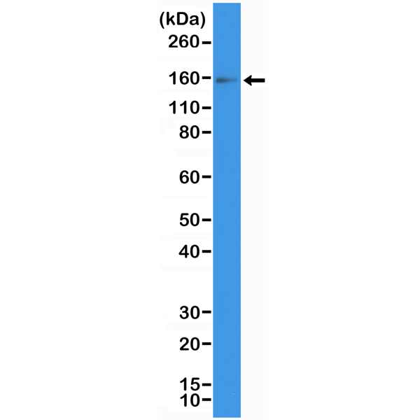 Figure 1. Western Blotting result<br>Western Blot of human placenta tissue lysate using anti-CD117/c-Kit rabbit monoclonal antibody (Clone RM359) at a 1:200 dilution.