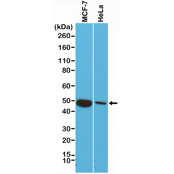 Figure 1. Western Blotting result<br>Western Blot of HeLa cells lysates using Anti-CK18 Rabbit Monoclonal Antibody (Clone RM279) at a 1:1000 dilution.