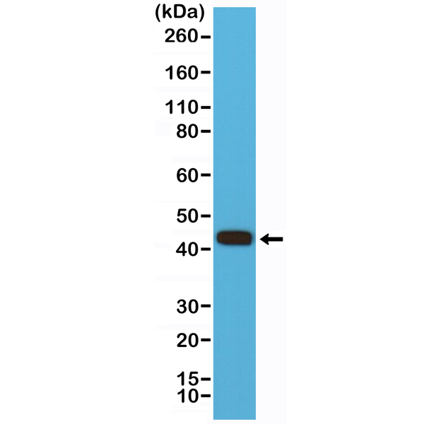 Figure 1. Western Blotting result<br>Western Blot of HEK 293 cells lysate using anti-MMP-12 rabbit monoclonal antibody (Clone RM381) at a 1:500 dilution.