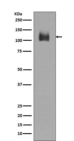 /M/0/M01573 LAMP2 primary antibodies WB testing 1.jpg