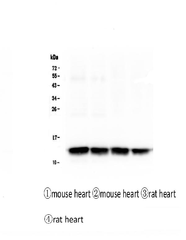 Figure 1. Western blot analysis of Cardiac FABP using anti-Cardiac FABP antibody (M01734).  <br>Electrophoresis was performed on a 5-20% SDS-PAGE gel at 70V (Stacking gel) / 90V (Resolving gel) for 2-3 hours. The sample well of each lane was loaded with 50ug of sample under reducing conditions.   <br>Lane 1: mouse heart tissue lysates,  <br>Lane 2: mouse heart tissue lysates,  <br>Lane 3: rat heart tissue lysates,  <br>Lane 4: rat heart tissue lysates.   <br>After Electrophoresis, proteins were transferred to a Nitrocellulose membrane at 150mA for 50-90 minutes. Blocked the membrane with 5% Non-fat Milk/ TBS for 1.5 hour at RT. The membrane was incubated with mouse anti-Cardiac FABP antigen affinity purified monoclonal antibody (Catalog # M01734) at 0.5 μg/mL overnight at 4°C, then washed with TBS-0.1%Tween 3 times with 5 minutes each and probed with a Biotin Conjugated goat anti-mouse IgG secondary antibody at a dilution of 1:10000 for 1.5 hour at RT. The signal is developed using an Enhanced Chemiluminescent detection (ECL) kit (Catalog # EK1001) with Tanon 5200 system.