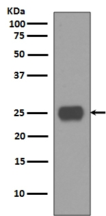 Anti-CD90 / Thy1 Rabbit Monoclonal Antibody