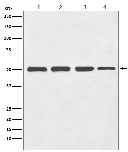 Western blot analysis of beta III Tubulin expression in (1) HeLa cell lysate; (2) PC-12 cell lysate; (3) Mouse brain lysate; (4) Rat brain lysate with beta Tubulin III Antibody (M01857-1). <br>Electrophoresis was performed on a 5-20% SDS-PAGE gel at 70V (Stacking gel) / 90V (Resolving gel) for 2-3 hours. The sample well of each lane was loaded with 50ug of sample under reducing conditions. <br> After Electrophoresis, proteins were transferred to a Nitrocellulose membrane at 150mA for 50-90 minutes. Blocked the membrane with 5% Non-fat Milk/ TBS for 1.5 hour at RT. The membrane was incubated with rabbit anti-TUBB3 monoclonal antibody (Catalog # M01857-1)  overnight at 4°C, then washed with TBS-0.1%Tween 3 times with 5 minutes each and probed with a goat anti-rabbit IgG-HRP secondary antibody at a dilution of 1:10000 for 1.5 hour at RT. The signal is developed using an Enhanced Chemiluminescent detection (ECL) kit (Catalog # EK1002) with Tanon 5200 system. A specific band was detected for TUBB3