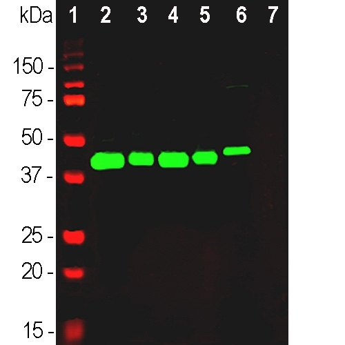 Western blot analysis of different tissue and cell lysates using rabbit pAb to GAP43, M01868-3, dilution 1:20,000 in green: [1] protein standard (red), [2] rat brain, [3] rat spinal cord, [4] mouse brain, [5] mouse spinal cord, [6] SH-SY5Y cells, [7] C6 cells. Single band at 43 kDa mark corresponds to GAP43 protein. The GAP43 protein is detected only in the lysates of neuronal origin. C6 cells are a rat glioma cell line and do not express GAP43 protein.