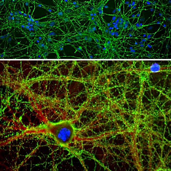 Immunofluorescent analysis of cortical neuron-glial cell culture from E20 rat stained with chicken pAb to GAP43, M01868-4, dilution 1:2,000 in green, and costained with rabbit pAb to ?-II spectrin,