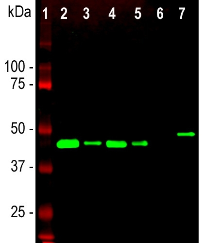 Western blot analysis of different tissue and cell lysates using chicken pAb to GAP43, M01868-4, dilution 1:5,000 in green: [1] protein standard (red), [2] rat brain, [3] rat spinal cord, [4] mouse brain, [5] mouse spinal cord, [6] C6 cells, [7] SH-SY5Y cells. Single band at the 43kDa mark corresponds to GAP43. The GAP43 protein only is detected in the lysates of neuronal origin. C6 cells are a rat glioma cell line and do not express GAP43.