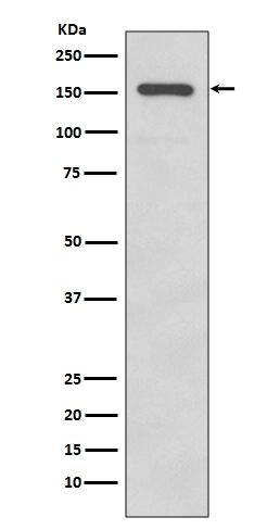 Anti-Integrin alpha 2 Rabbit Monoclonal Antibody