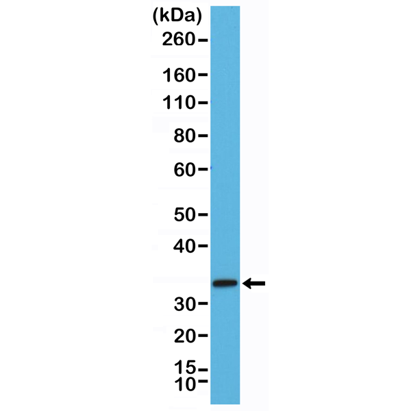 Figure 1. Western Blotting result<br>Western Blot of mouse brain tissue lysate using anti-Syntaxin-1A rabbit monoclonal antibody (Clone RM367) at a 1:2000 dilution.