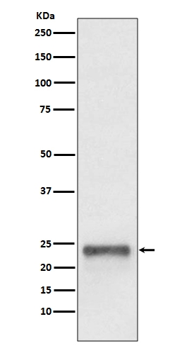 Western blot analysis of Ubiquitin D  expression in HepG2 cell lysate (M01970). <br>Electrophoresis was performed on a 5-20% SDS-PAGE gel at 70V (Stacking gel) / 90V (Resolving gel) for 2-3 hours. The sample well of each lane was loaded with 50ug of sample under reducing conditions. <br> After Electrophoresis, proteins were transferred to a Nitrocellulose membrane at 150mA for 50-90 minutes. Blocked the membrane with 5% Non-fat Milk/ TBS for 1.5 hour at RT. The membrane was incubated with rabbit anti-UBD monoclonal antibody (Catalog # M01970)  overnight at 4℃, then washed with TBS-0.1%Tween 3 times with 5 minutes each and probed with a goat anti-rabbit IgG-HRP secondary antibody at a dilution of 1:10000 for 1.5 hour at RT. The signal is developed using an Enhanced Chemiluminescent detection (ECL) kit (Catalog # EK1002) with Tanon 5200 system. A specific band was detected for UBD