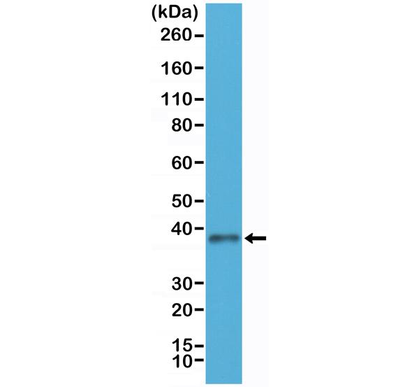 Figure 1. Western Blotting result<br>Western Blot of HEK293 cells lysates using Anti-JAM1 Rabbit Monoclonal Antibody (Clone RM275) at a 1:250 dilution.