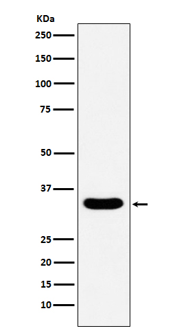 Figure 1. Western blot analysis of DAZL using anti-DAZL antibody (M02069).<br>Electrophoresis was performed on a 5-20% SDS-PAGE gel at 70V (Stacking gel) / 90V (Resolving gel) for 2-3 hours. The sample well of each lane was loaded with 50ug of sample under reducing conditions. <br>After Electrophoresis, proteins were transferred to a Nitrocellulose membrane at 150mA for 50-90 minutes. Blocked the membrane with 5% Non-fat Milk/ TBS for 1.5 hour at RT. The membrane was incubated with rabbit anti-DAZL antigen affinity purified polyclonal antibody (Catalog # M02069) at 0.5 ug/mL overnight at 4°C, then washed with TBS-0.1%Tween 3 times with 5 minutes each and probed with a goat anti-Rabbit IgG IgG-HRP secondary antibody at a dilution of 1:10000 for 1.5 hour at RT. The signal is developed using an Enhanced Chemiluminescent detection (ECL) kit (Catalog # SA1022) with Tanon 5200 system. A specific band was detected for DAZL.