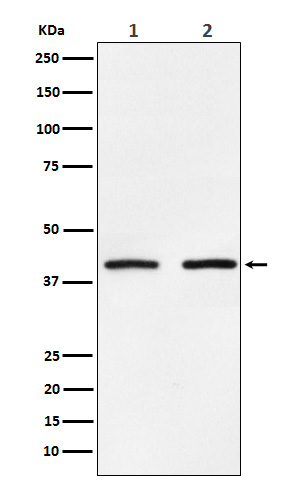 Figure 1. Western blot analysis of SMYD3 using anti-SMYD3 antibody (M02080).<br>Electrophoresis was performed on a 5-20% SDS-PAGE gel at 70V (Stacking gel) / 90V (Resolving gel) for 2-3 hours. The sample well of each lane was loaded with 50ug of sample under reducing conditions. <br>After Electrophoresis, proteins were transferred to a Nitrocellulose membrane at 150mA for 50-90 minutes. Blocked the membrane with 5% Non-fat Milk/ TBS for 1.5 hour at RT. The membrane was incubated with rabbit anti-SMYD3 antigen affinity purified polyclonal antibody (Catalog # M02080) at 0.5 ug/mL overnight at 4°C, then washed with TBS-0.1%Tween 3 times with 5 minutes each and probed with a goat anti-Rabbit IgG IgG-HRP secondary antibody at a dilution of 1:10000 for 1.5 hour at RT. The signal is developed using an Enhanced Chemiluminescent detection (ECL) kit (Catalog # SA1022) with Tanon 5200 system. A specific band was detected for SMYD3.