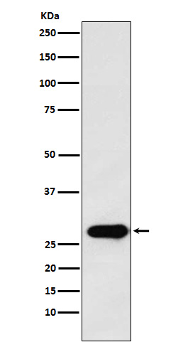 Figure 1. Western blot analysis of PTTG1 using anti-PTTG1 antibody (M02099).<br>Electrophoresis was performed on a 5-20% SDS-PAGE gel at 70V (Stacking gel) / 90V (Resolving gel) for 2-3 hours. The sample well of each lane was loaded with 50ug of sample under reducing conditions. <br>After Electrophoresis, proteins were transferred to a Nitrocellulose membrane at 150mA for 50-90 minutes. Blocked the membrane with 5% Non-fat Milk/ TBS for 1.5 hour at RT. The membrane was incubated with rabbit anti-PTTG1 antigen affinity purified polyclonal antibody (Catalog # M02099) at 0.5 ug/mL overnight at 4°C, then washed with TBS-0.1%Tween 3 times with 5 minutes each and probed with a goat anti-Rabbit IgG IgG-HRP secondary antibody at a dilution of 1:10000 for 1.5 hour at RT. The signal is developed using an Enhanced Chemiluminescent detection (ECL) kit (Catalog # SA1022) with Tanon 5200 system. A specific band was detected for PTTG1.