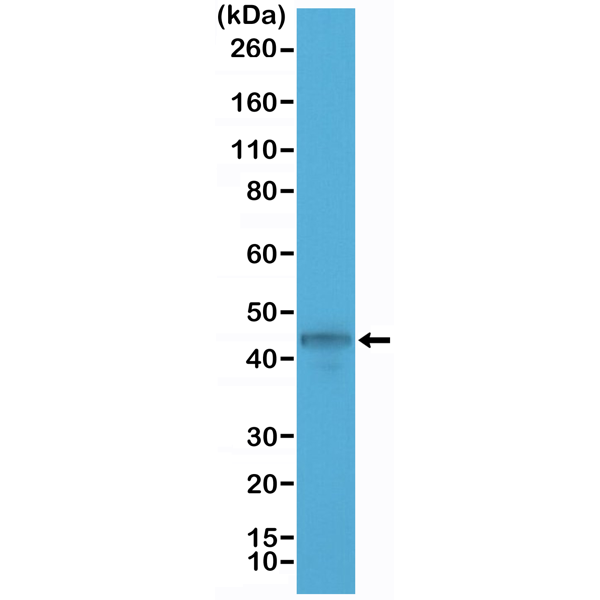 Figure 1. Western Blotting result<br>Western Blot of MCF-7 cell lysate using anti-CK-19 rabbit monoclonal antibody (Clone RM364) at a 1:1000 dilution.