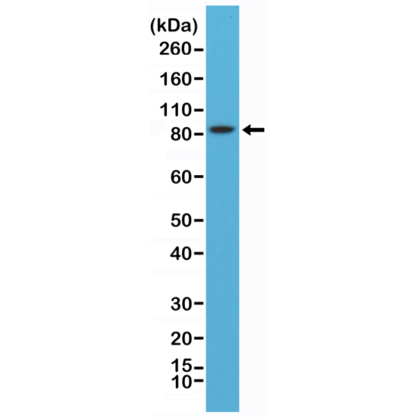 Figure 1. Western Blotting result<br>Western Blot of mouse brain lysates using anti-PSD-95 rabbit monoclonal antibody (clone RM288) at a 1:8,000 dilution.
