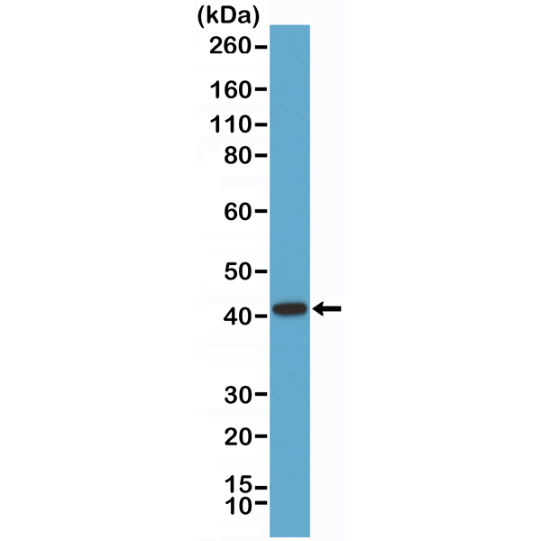 Figure 1. Western Blotting result<br>Western Blot of LNCaP cell lysate using anti-p504s/AMACR rabbit monoclonal antibody (Clone RM349) at a 1:1000 dilution.