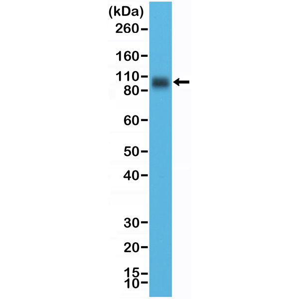 Figure 1. Western Blotting result<br>Western Blot of LNCaP cell lysate using anti-CD276 (B7-H3) rabbit monoclonal antibody (Clone RM335) at a 1:10,000 dilution.