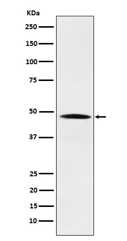 Figure 1. Western blot analysis of NCK1 using anti-NCK1 antibody (M02260) in Hela cell lysate.<br>Electrophoresis was performed on a 5-20% SDS-PAGE gel at 70V (Stacking gel) / 90V (Resolving gel) for 2-3 hours. The sample well of each lane was loaded with 50ug of sample under reducing conditions. <br>After Electrophoresis, proteins were transferred to a Nitrocellulose membrane at 150mA for 50-90 minutes. Blocked the membrane with 5% Non-fat Milk/ TBS for 1.5 hour at RT. The membrane was incubated with rabbit anti-NCK1 antigen affinity purified polyclonal antibody (Catalog # M02260) at 0.5 ug/mL overnight at 4°C, then washed with TBS-0.1%Tween 3 times with 5 minutes each and probed with a goat anti-Rabbit IgG IgG-HRP secondary antibody at a dilution of 1:10000 for 1.5 hour at RT. The signal is developed using an Enhanced Chemiluminescent detection (ECL) kit (Catalog # SA1022) with Tanon 5200 system. A specific band was detected for NCK1.